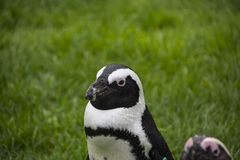 Magellan Penguins are a group of aquatic, flightless birds living almost exclusively. Magellan Penguins order Sphenisciformes, family Spheniscidae are a group of royalty free stock images