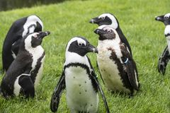 Magellan Penguins are a group of aquatic, flightless birds living almost exclusively. Magellan Penguins order Sphenisciformes, family Spheniscidae are a group of royalty free stock image