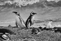 Magellan Penguins Royalty Free Stock Images