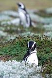 Magellan Penguins Royalty Free Stock Image