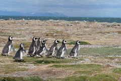 Magellan Penguins run for the beach. Group of eight magellan penguins run for the beach across a rough plain, Punta Arenas, Chile stock photography