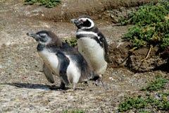 Magellan penguins in the wild Royalty Free Stock Photos