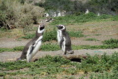 Magellan penguins in the wild Royalty Free Stock Images