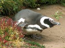 Magellan Pinguin Stockfoto