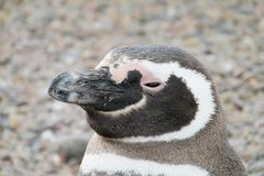 Magellan pinguin portrait. The Magellan pinguin portrait. A pinguin standing on stones near the sea shore royalty free stock images