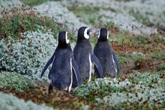 Magellan Pinguine Stockfotografie