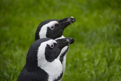 Magellan pingvin är en grupp av vatten- flightless fåglar som nästan exklusivt bor arkivbild