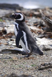 magellan pingvin Royaltyfri Bild