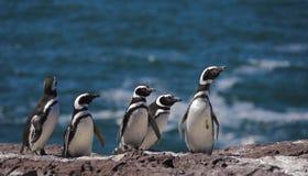 magellan pingvin fotografering för bildbyråer