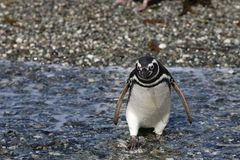 Magellan pingvin på Tucker Island patagonia chile royaltyfria foton