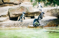 Magellan pingvin som går att simma arkivbilder