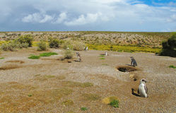 magellan pingwiny Fotografia Royalty Free