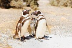 Magellanic企鹅家庭 库存图片