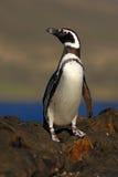 Magellanic企鹅,蠢企鹅magellanicus,在岩石海滩的鸟,海浪在背景中,福克兰群岛 免版税库存照片