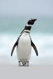 Magellanic企鹅,蠢企鹅magellanicus,在白色沙子海滩,海浪在背景中,福克兰群岛 免版税库存图片