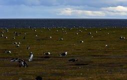 Magellanic企鹅,马格达莱纳海岛,智利 免版税库存照片