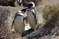 Magellanic企鹅, Punta Tombo,阿根廷 免版税库存图片
