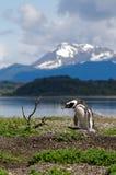Magellanic企鹅(蠢企鹅magellanicus)在Martillo海岛, 免版税图库摄影