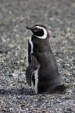 magellanic企鹅 免版税库存照片