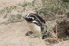 magellanic企鹅 库存图片