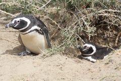 magellanic企鹅 库存照片