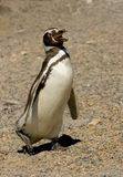 magellanic巴塔哥尼亚企鹅punta tombo 免版税图库摄影