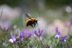 magellanic的土蜂 免版税库存照片
