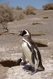 magellanic Παταγωνία penguin Στοκ Εικόνα