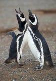 magellanic пингвины пар Стоковое Изображение