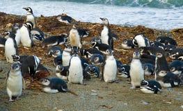 magellanic пингвины Стоковые Фотографии RF
