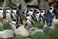 magellanic пингвины Стоковая Фотография