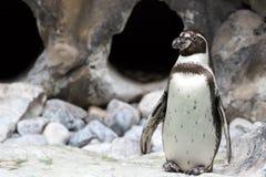 magellanic пингвин Стоковая Фотография RF