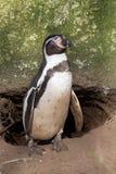 Magellanic-пингвин Стоковые Изображения RF