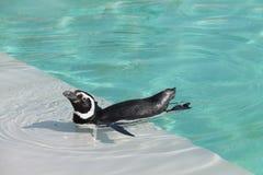 magellanic пингвин Стоковая Фотография