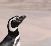 magellanic пингвин Стоковые Фотографии RF