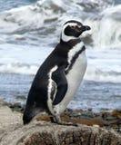 magellanic пингвин Стоковое Изображение RF