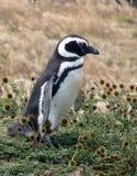 magellanic пингвин Стоковые Изображения