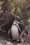 magellanic пингвин patagonia Стоковые Фото