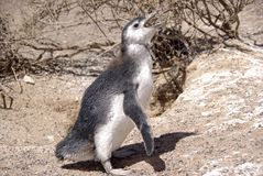 magellanic пингвин patagonia Стоковая Фотография
