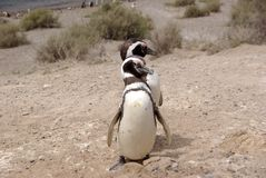 magellanic пингвин patagonia Стоковые Изображения