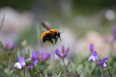 A Magellanic Bumblebee Royalty Free Stock Photos