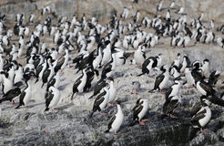 Magellanic cormorants colony on Isla de Los Pajaros or Birds Island In The Beagle Channel Royalty Free Stock Photo
