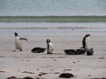 Magellanic en Gentoo-Pinguïnen op het Strand Stock Foto