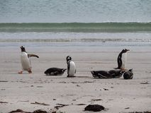 Magellanic and Gentoo Penguins on the Beach. The Gentoos are standing and four of the Magellanics are resting on their bellies. One Magellanic is grooming. An