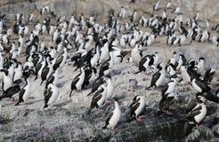 Magellanic-Kormorankolonie auf Isla de Los Pajaros oder Vogel-Insel im Spürhund-Kanal Lizenzfreies Stockfoto