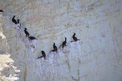 Magellanic kormoranu Phalacrocorax magellanicus przy Punta Loma, Argentyna Obraz Royalty Free