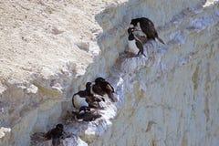 Magellanic kormoranu Phalacrocorax magellanicus przy Punta Loma, Argentyna Zdjęcia Stock