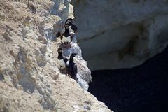 Magellanic kormoranu Phalacrocorax magellanicus przy Punta Loma, Argentyna Zdjęcie Stock