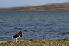 Magellanic Oystercatcher - Falkland Islands Stock Photos