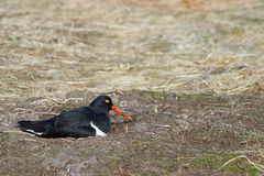 Magellanic Oystercatcher - Falkland Islands Stock Image